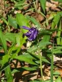 Blå akleja - vulgaris Aquilegia Arkivfoton