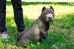 Blå amerikanska staffordshire terrier Fotografering för Bildbyråer