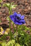 Blå anemonblomma Arkivbild