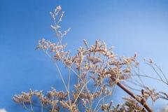 Blå bakgrund med filialen av bomullsväxten Arkivfoto