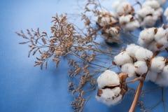 Blå bakgrund med filialen av bomullsväxten Fotografering för Bildbyråer