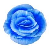 Blå begonia för blomma som isoleras på vit bakgrund Närbild element för klockajuldesign Arkivbilder