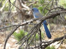 Blå bergfågel på träd i den Grand Canyon nationalparken USA arkivfoton