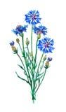 Blå blåklintbukett Royaltyfria Bilder