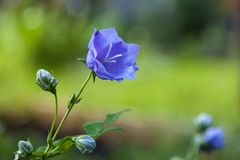Blå blåklocka Arkivfoto
