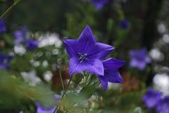 Blå blåklockaklockblomma Royaltyfri Fotografi
