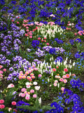 blå blommaängpink Royaltyfria Foton