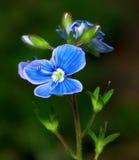 blå blomma Royaltyfri Fotografi