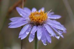 blå blomma Royaltyfri Bild