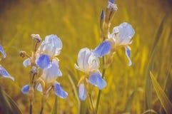 Blå blomma-de-luce Arkivbild