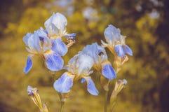 Blå blomma-de-luce Royaltyfri Bild