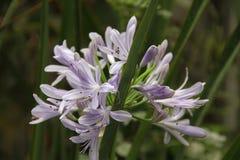 blå blomma en Arkivfoto