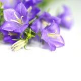 blå blomma för klocka Arkivfoton