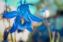blå blomma för klocka Royaltyfri Bild
