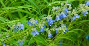 blå blomma för klocka Fotografering för Bildbyråer