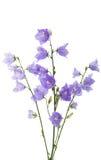 blå blomma för klocka Arkivbild