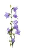 blå blomma för klocka Arkivfoto