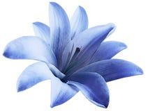 Blå blomma för vattenfärglilja isolerat med den snabba banan på en vit bakgrund För design royaltyfri foto