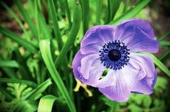 Blå blomma i blomning Fotografering för Bildbyråer
