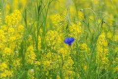 Blå blomma i ett gräsplan- och gulingfält Royaltyfria Bilder