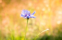 Blå blomma i fältet fotografering för bildbyråer