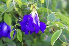Blå blomma i morgonen royaltyfri fotografi