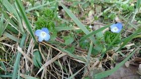 Blå blomma i skog Arkivfoto