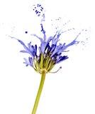 Blå blomma med färgstänk arkivbilder