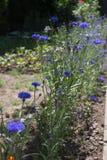 Blå blomma på gatan Royaltyfri Fotografi