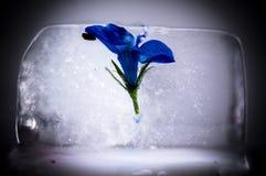 Blå blomma som fångas i iskub Royaltyfria Foton