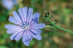 Blå blommacikorianärbild Royaltyfria Bilder