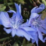 Blå blommacloseupbild och lite skrämma fotografering för bildbyråer