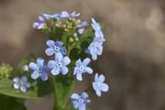 blå blommafjäder Arkivbild