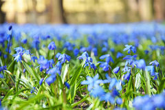 blå blommafjäder Royaltyfria Foton