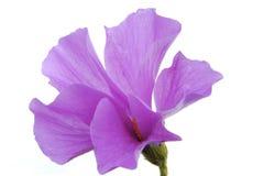 blå blommahibiskus Royaltyfria Bilder