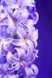 blå blommahyacint Royaltyfri Foto