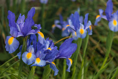 blå blommairis Royaltyfri Bild
