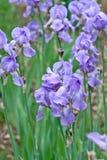 blå blommairis Fotografering för Bildbyråer