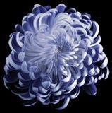 Blå blommakrysantemum Motley trädgårdblomma svärta isolerad bakgrund med den snabba banan inga skuggor closeup Royaltyfri Bild