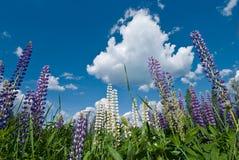 blå blommalupinesky Arkivbild