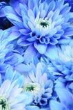 blå blommamakro för aster Royaltyfri Bild
