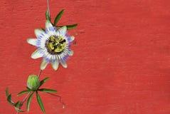 blå blommapassion Arkivfoton