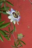 blå blommapassion Arkivbild