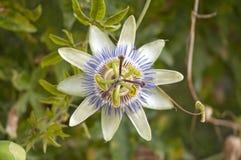 blå blommapassion Royaltyfri Fotografi