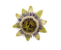 blå blommapassion Passiflora Caerulea Royaltyfri Fotografi