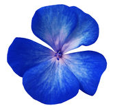 Blå blommapelargon Vit isolerad bakgrund med den snabba banan Closeup inga skuggor Fotografering för Bildbyråer