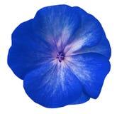 Blå blommapelargon Vit isolerad bakgrund med den snabba banan Closeup inga skuggor Royaltyfria Foton