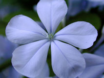 blå blommaplumbego Arkivfoton