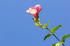 blå blommasky Royaltyfri Bild