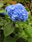 blå blommavanlig hortensia Arkivfoto